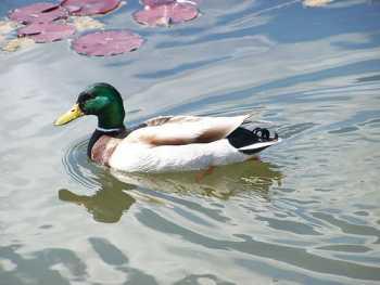 duck350.jpg
